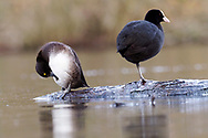 Tufted Duck - Aythya fuligula - female with Common Coot - Fulica atra