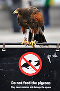 © Licensed to London News Pictures. 13/03/2012. London, UK. Lizzie sits on top of a sign telling people not to feed the pigeons. Wayne Parsons flies Lizzie, aged 3, the American Harris Hawk in London's Trafalgar Square today. Wayne and Lizzie are employed by the Greater London Authority to control the pigeon population in the famous square. Lizzie was reared from birth by Wayne but not 'imprinted', meaning she retains her natural ability to hunt. Lizzie only catches 5 or 6 pigeons a year as the very site of her scares them away.  Photo credit : Stephen SImpson/LNP
