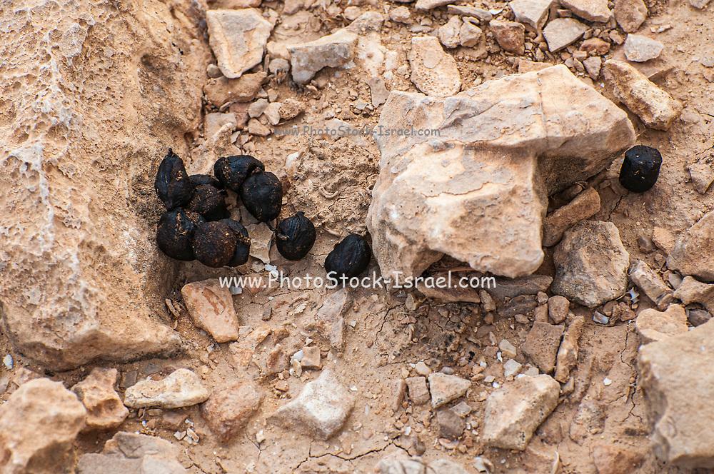 Animal Droppings Photographed in Nahal  Tzeelim [Tze'eelim Stream], Negev Desert, Israel  in December