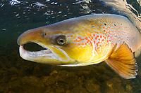 Atlantic salmon, Salmo salar<br /> River Orkla, Norway<br /> Model name: -