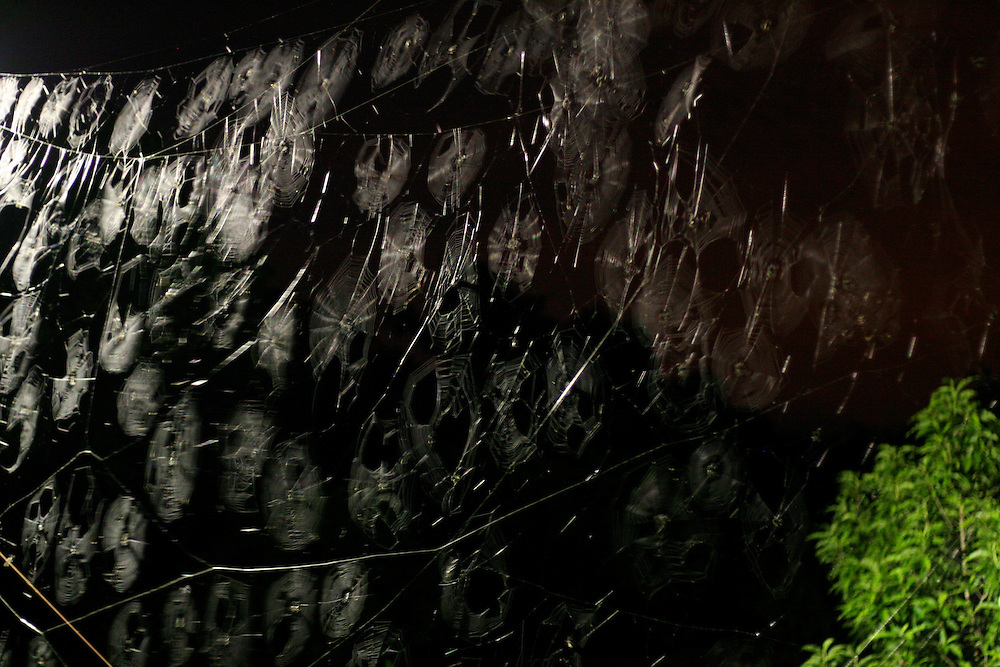 Distrito dos Maias_MG, Brasil...Detalhe de aranhas na teia...Detail of spiders in the spiderweb...Foto: LEO DRUMOND / NITRO.