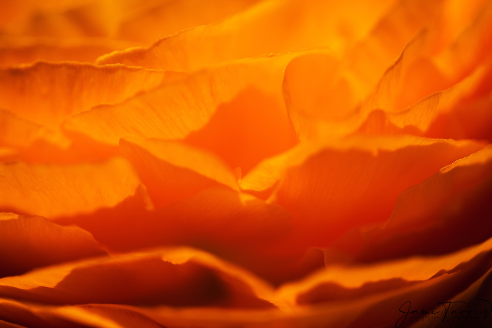 Flower petals abstract in gold and yellow,California, USA