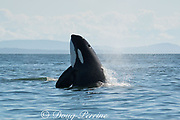 transient orca or killer whale, Orcinus orca, spyhopping, San Juan Islands, Washington, United States, near Vancouver Island, British Columbia, Canada