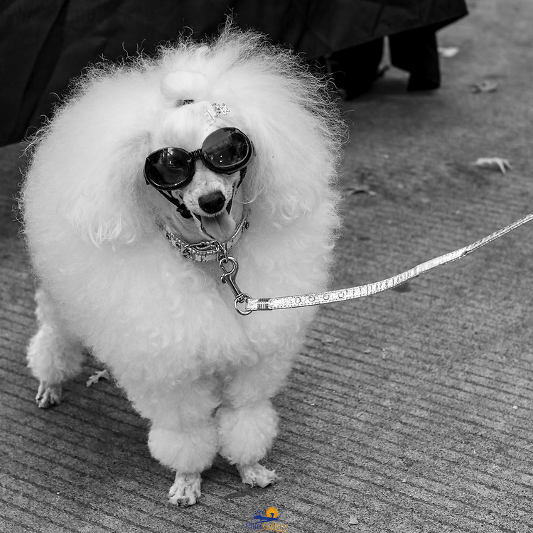 French Poodle with glasses. Portland, Oregon.