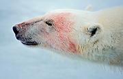 Bloddy polar bear.