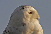 A number of Snowy Owls returned to Washington in 2013, creating speculation that there would be an echo from the previous year's large scale southern migration, Nov. 26, 2012. Irruptions, as they are known, occur periodically and 2012 was particularly good for local bird watchers. Several of the arctic beauties staged in the Stillaguamish River estuary near Stanwood. (Mark Harrison / The Seattle Times)