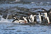 Adelie penguins jumping into the sea from the rocks.