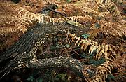 Bracken, Pteridium aquilinum, Common Fern, New Forest, UK