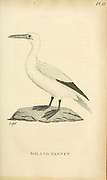 Soland Gannet from the 1825 volume (Aves) of 'General Zoology or Systematic Natural History' by British naturalist George Shaw (1751-1813). Shaw wrote the text (in English and Latin). He was a medical doctor, a Fellow of the Royal Society, co-founder of the Linnean Society and a zoologist at the British Museum. Engraved by Mrs. Griffith
