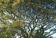 Evening Brush Oak Branches