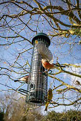Greenfinch  - Carduelis chloris - and male and female Bullfinches - Pyrrhula pyrrhula - on a wire squirrel proof bird feeder