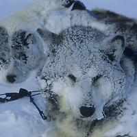 Sled dog wakes after frigid sleep on frozen Arctic Ocean.