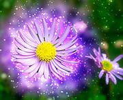 Digitally enhanced image of a closeup of a Purple Daisy Osteospermum the common name African Daisy