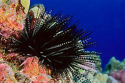 Banded sea urchin, Echinothrix calamaris, venomous, Kona Coast, Big Island, Hawaii, Pacific Ocean