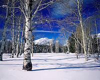 Aspen Trees in winter, Grand Teton National Park Wyoming