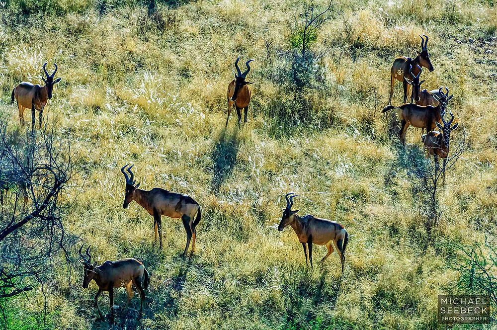 Taken from some distance, this image shows a gathering of Red Hartebeest on a steep hillside, in Namibia.<br /> <br /> Open Edition Print / Stock Image