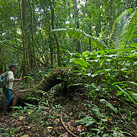 An Indian guide looks for a path through the Amazon Jungle near the Yanayacu River in Peru's Amazon Jungle.