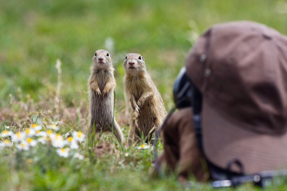"Ziesel vor Kamera mit ""Tarnkappe"", Spermophilus citellus, Slowakei / Sousliks in front of camouflaged camera, Spermophilus citellus, Slovakia"
