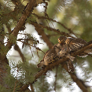 Northern Pygmy Owl (Glaucidium gnoma) Perched on branch with fledging, feeding. One of the smallest owls in North America. An aggressive predator, this owl will sometimes catch birds larger than itself, its favorite target is songbirds. Montana. Summer.