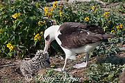 Laysan albatross, Phoebastria immutabilis, preening chick, Sand Island, Midway Atoll, Midway National Wildlife Refuge, Papahanaumokuakea Marine National Monument, Northwest Hawaiian Islands, USA ( North Pacific Ocean )