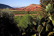 Pricky pear cactus and green valley floor with barren hillsides and distant mountains, Atlas Mountains, Morocco, north Africa