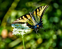 Tiger Swallowtail Butterfly on a Queen Anne's Lace Flower. Image taken with a Nikon D4 camera and 70-300 mm VR lens (ISO 200, 300 mm, f/5.6, 1/1250 sec)