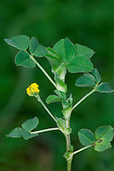 BLACK MEDICK Medicago lupulina (Fabaceae) Height to 20cm<br /> Downy annual of short grassland and waste places. FLOWERS are small and yellow; borne in dense, spherical heads (8-9mm across) of 10-50 flowers (Apr-Oct). FRUITS are spirally coiled, spineless and black when ripe. LEAVES are trifoliate, each leaflet bearing a point at the centre of its apex. STATUS-Widespread and rather common.