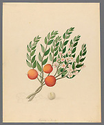 Eugenia or. Jambo [Eugenia albanensis] (1817) from a collection of ' Drawings of plants collected at Cape Town ' by Clemenz Heinrich, Wehdemann, 1762-1835 Collected and drawn in the Cape Colony, South Africa