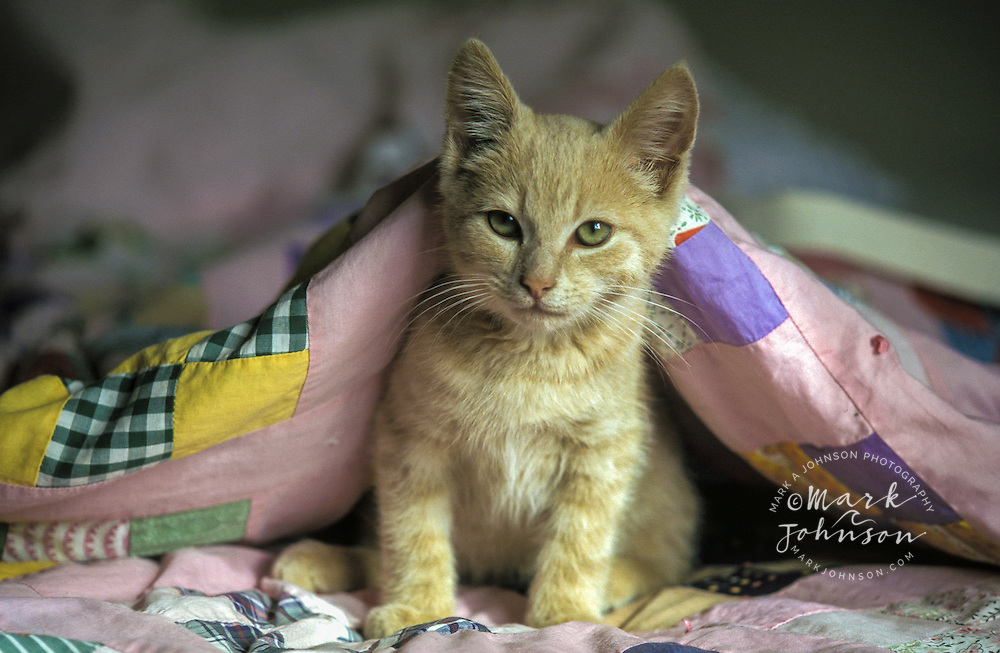Cute kitten underneath a quilt *****Property Release available