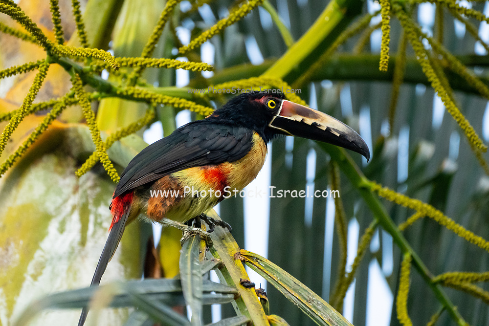 Collared aracari (Pteroglossus torquatus) on a branch. This toucan breeds from southern Mexico to Panama and across to Ecuador, Colombia, Venezuela and Costa Rica. Photographed in Costa Rica in June