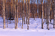 The last rays of the setting winter sun illuminates an aspen grove near McCall, Idaho