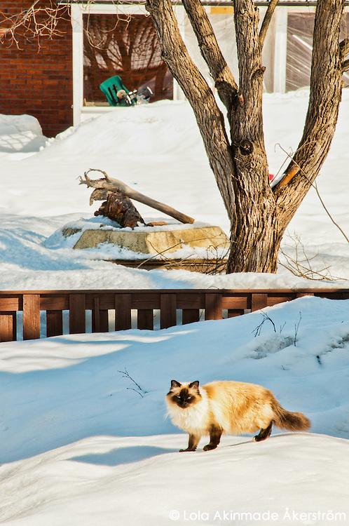 Cat in snow, Luleå, Sweden