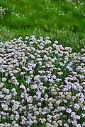 Native seaside Thrift sea pink flower plant Armeria maritima - Plumbaginaceae in Kilkee, County Clare, West of Ireland