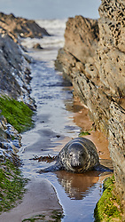 A newly independent Grey Seal pup, likely from the colony on Lundy in the Bristol Channel, hauls out on the rocky coast of Croyde Bay.