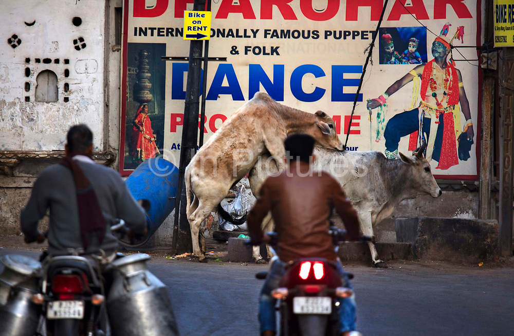 A motorbike carrying churns of milk passes a bull mounting a cow on 20th January 2018  in the city of Udaipur, India. One Hindu goddess, Bhoomi, is usually shown in the form of a cow. She represents the Earth. Most Hindus respect cows for their gentle nature, and cows also represent strength. Hindus, however, are vegetarians and they consider the cow to be a sacred symbol of life that should be protected and revered. In the Vedas, the oldest of the Hindu scriptures, the cow is associated with Aditi, the mother of all the gods.