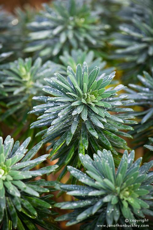 Euphorbia characias subsp.characias 'Joshua'