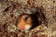 Deutschland, DEU, Cuxhaven: Goldhamster (Mesocricetus auratus) schaut durch ein Loch in seinem unterirdischen Bau.   Germany, DEU, Cuxhaven: Golden Hamster (Mesocricetus auratus) looking through a hole in its subterranean burrow.  