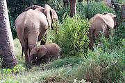 Kenya, Samburu National Reserve, Kenya, Herd of African Elephant with young, February 2007