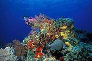 gray angelfish,<br /> Pomacanthus arcuatus,<br /> Cozumel, Mexico, ( Caribbean Sea )<br /> MR 138