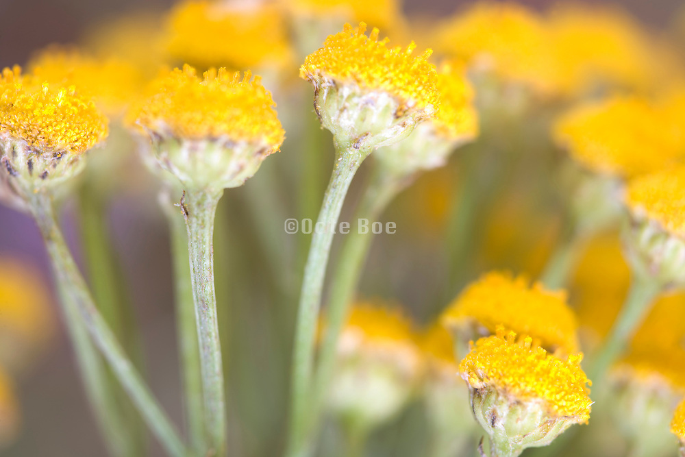 close up of head of bright yellow wild flowers in bloom