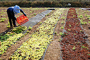 Israel, Drying grapes in the sun to produce raisins