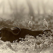 """""""African Dreams""""                                                Zimbabwe<br />  An early morning in May, 2010 in Mana Pools, we encountered this beautiful and powerful Cape buffalo in the early morning mist.  He seemed to be enjoying the morning as much as his two passengers."""