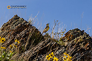 Meadowlark singing at the National Bison Range in Moiese, Montana, USA