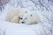 01874-11611 Polar Bears (Ursus maritimus) female and cub, Churchill Wildlife Management Area,  MB