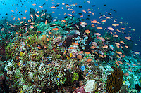 Anthias and other reef fish congregate near a hand made fish trap<br /> <br /> Shot in Indonesia