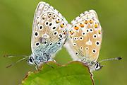 Mating adonis blue butterflies. Surrey, UK.