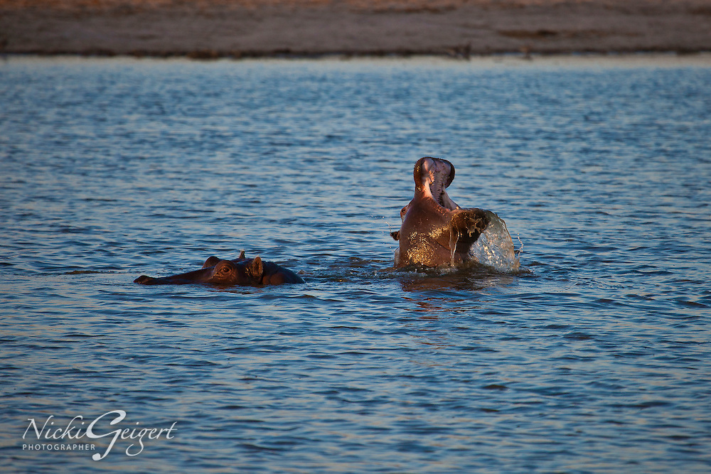 Hippos in water, Zimbabwe, Africa. Nature and wildlife photography, stock images, wall art.