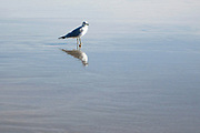 Seagull reflected in calm water
