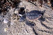 ghost crab, Ocypode quadrata, scavenges dead loggerhead sea turtle hatchling, Carretta carretta, on nesting beach, Juno Beach, Florida ( Atlantic )