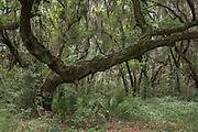 Spanish moss (Tillandsia usneoides) growing upon Southern Live Oak (Quercus virginiana)<br /> St Simon's Island, Barrier Islands, Georgia<br /> USA